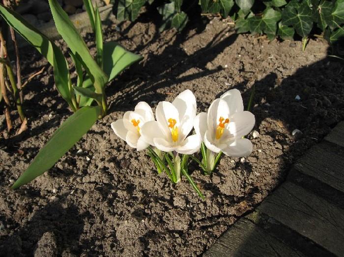 More crocus blossoms