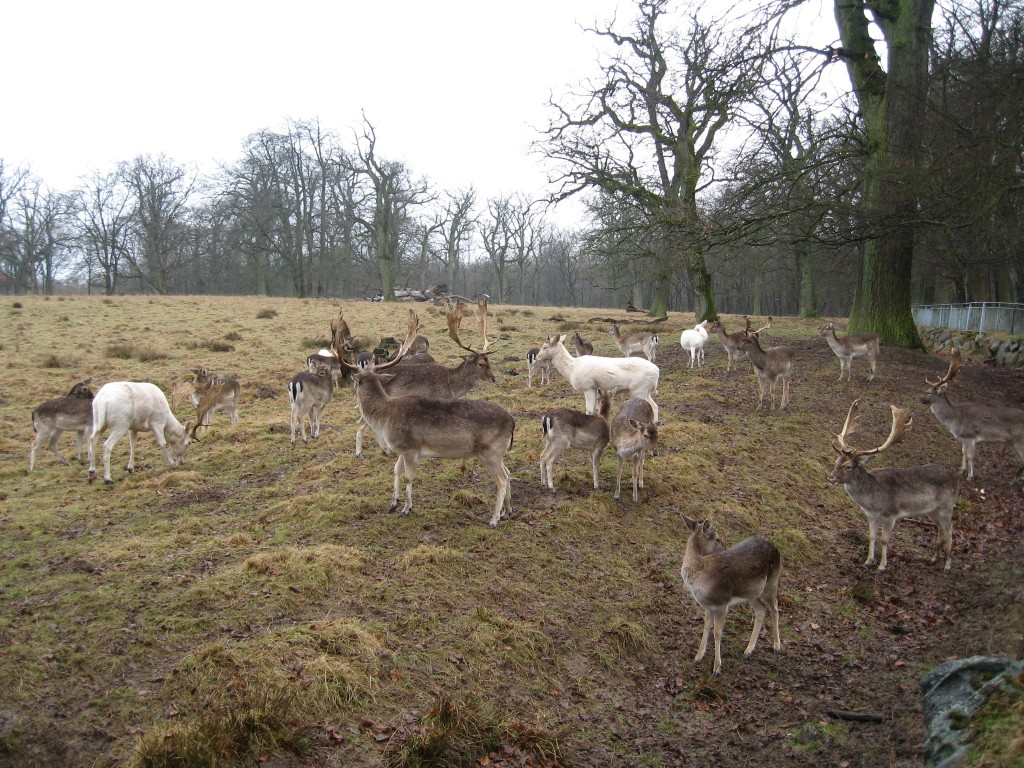 Deer in Rügen