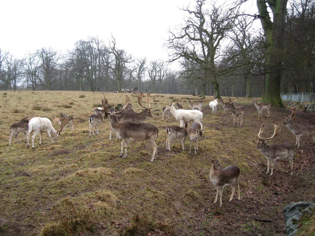 Deer in Rügen