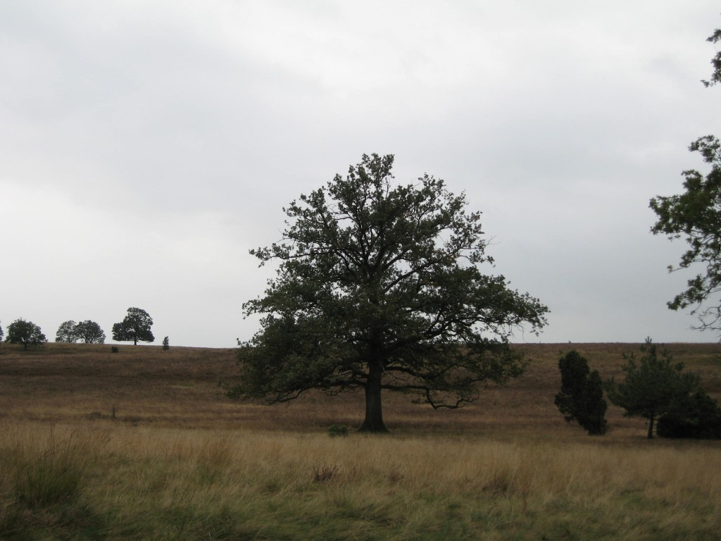 Lüneburger Heide - oak tree