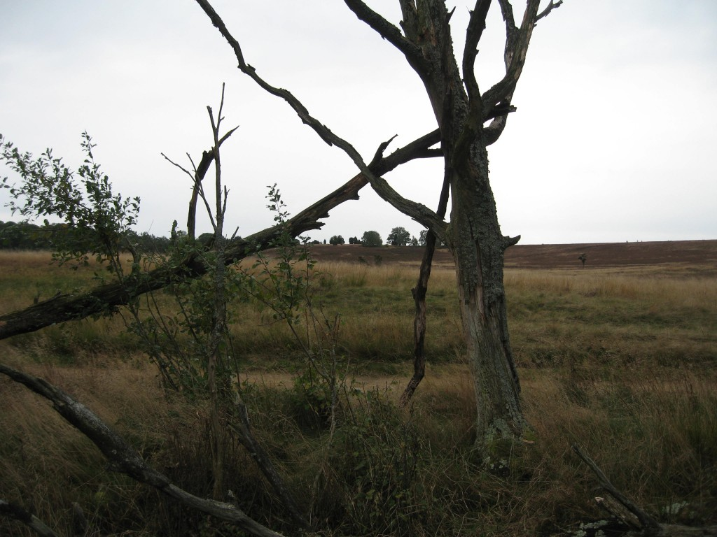 Lüneburger Heide - dead tree