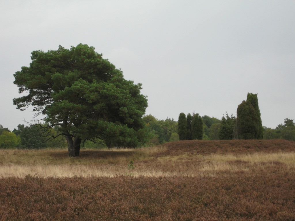 Lüneburger Heide - pine tree and grave mound