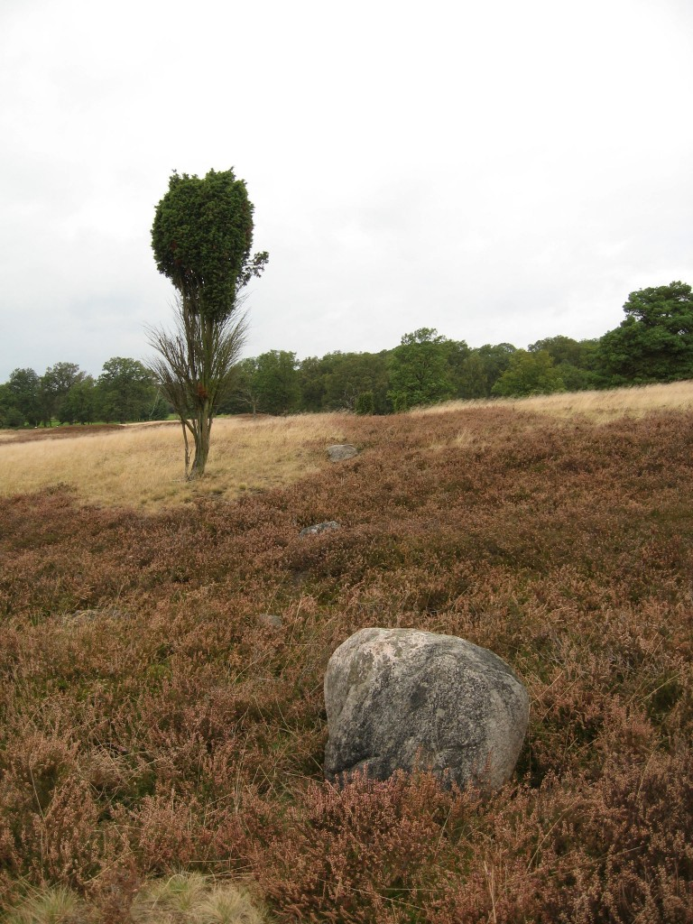 Lüneburger Heide - Findling and juniper bush