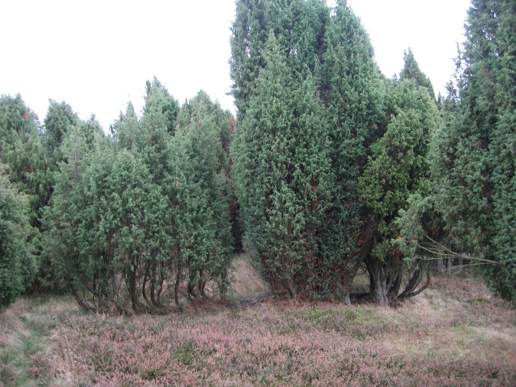 Lüneburger Heide - Juniper bushes