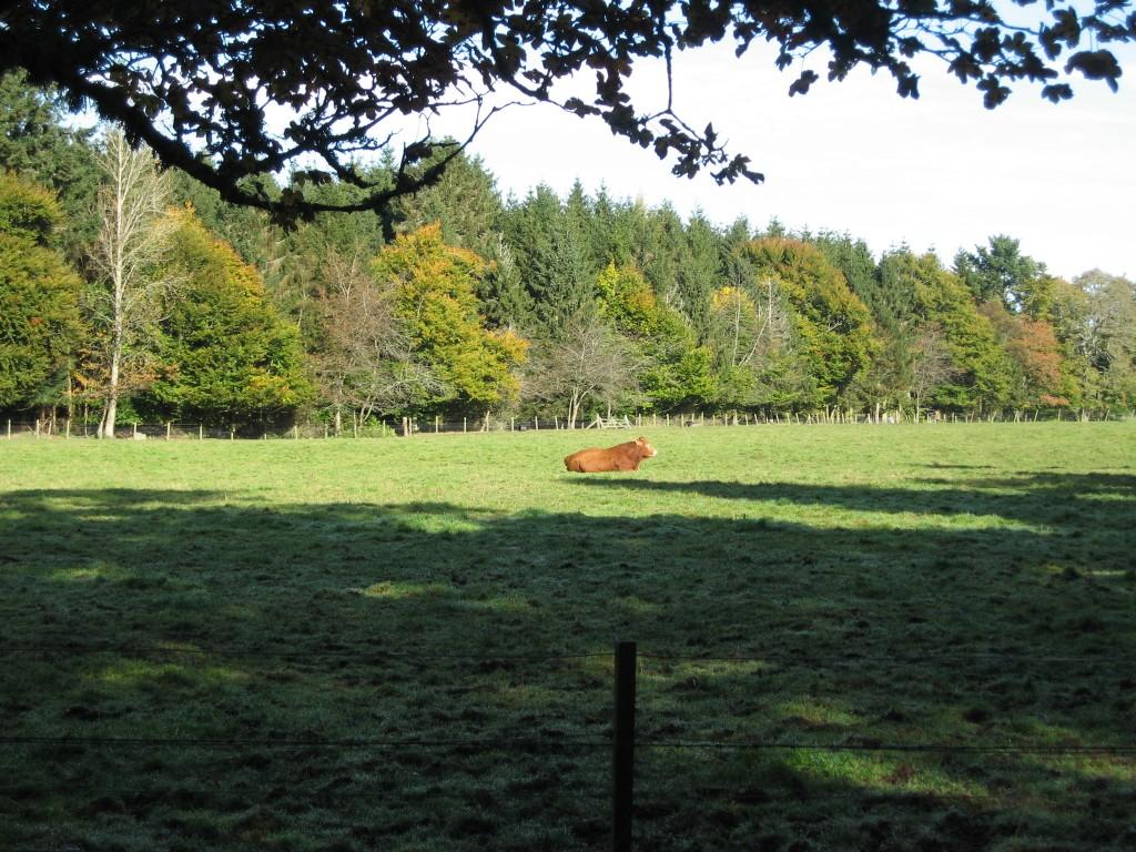 Crathes Castle cow