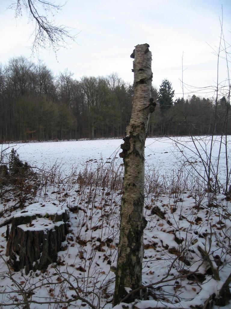 Snowy dead tree