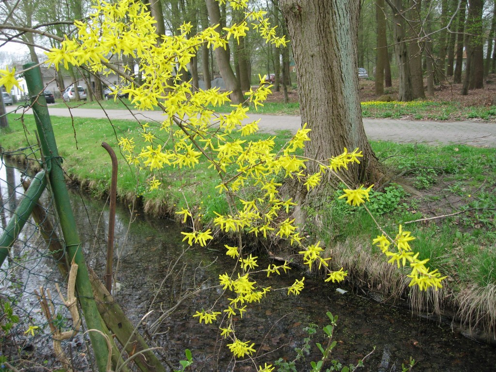 Brook with forsythia