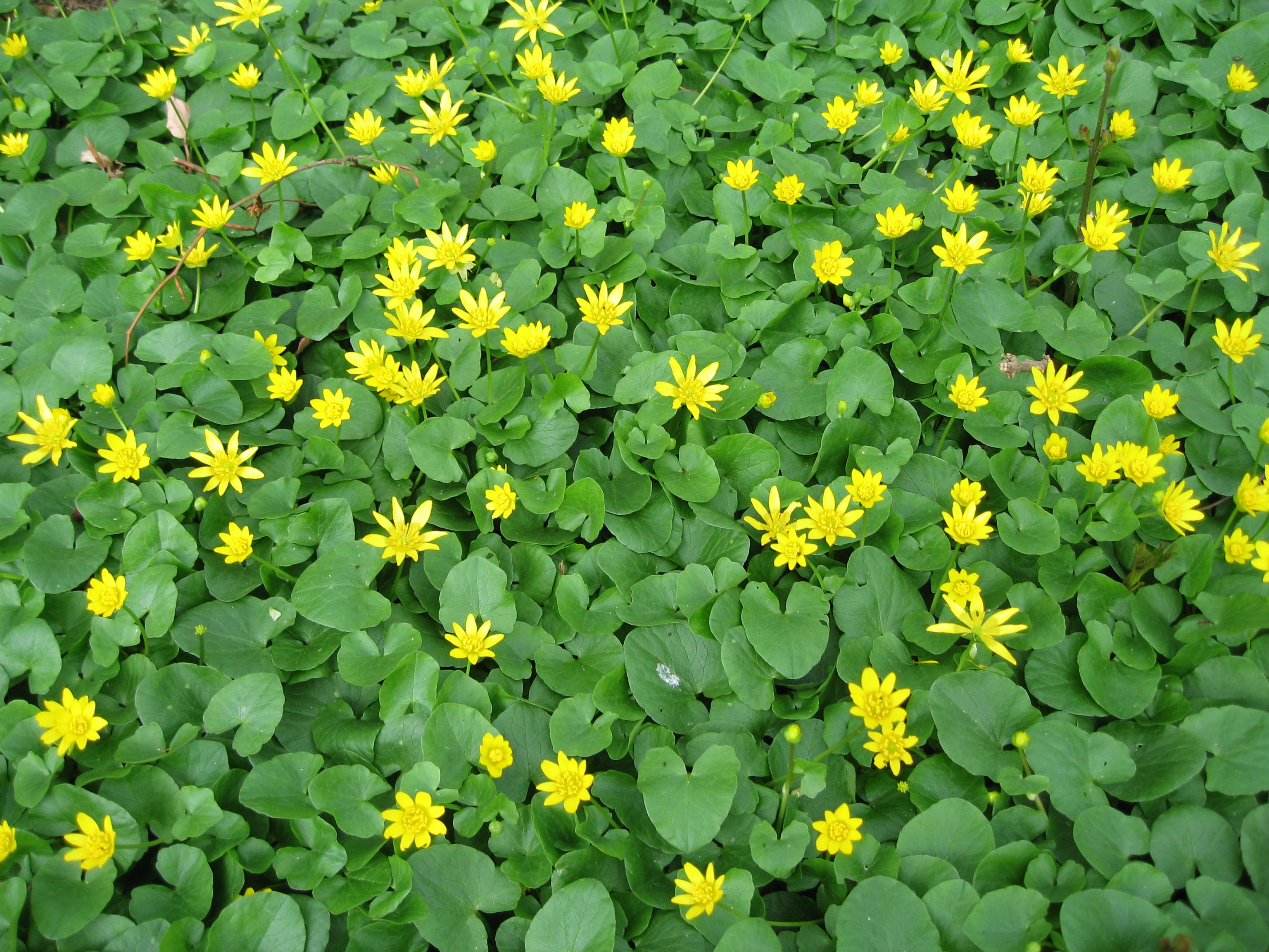 Plant With Small Yellow Flower Cers Photos