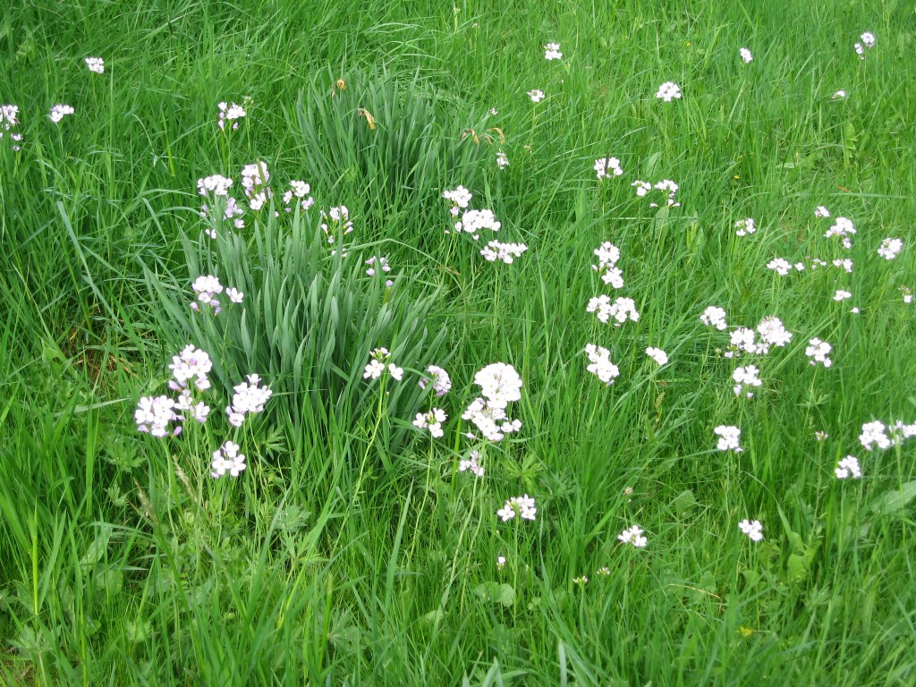 Lady's Smock - Cuckoo flower