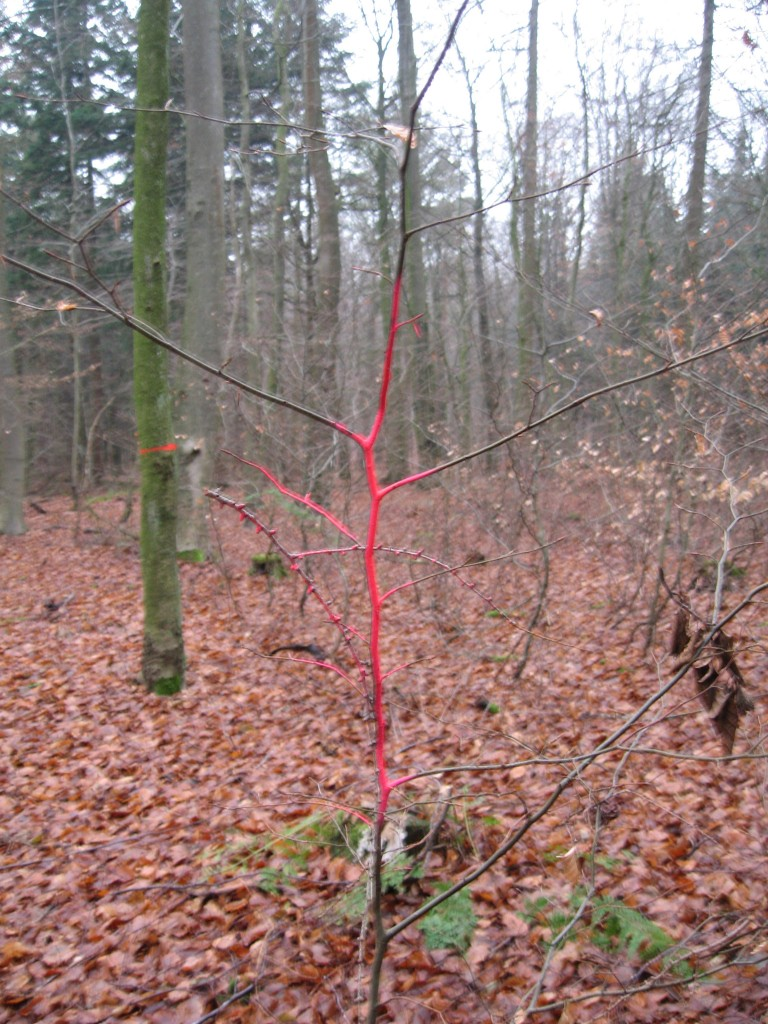 Westermark red tree