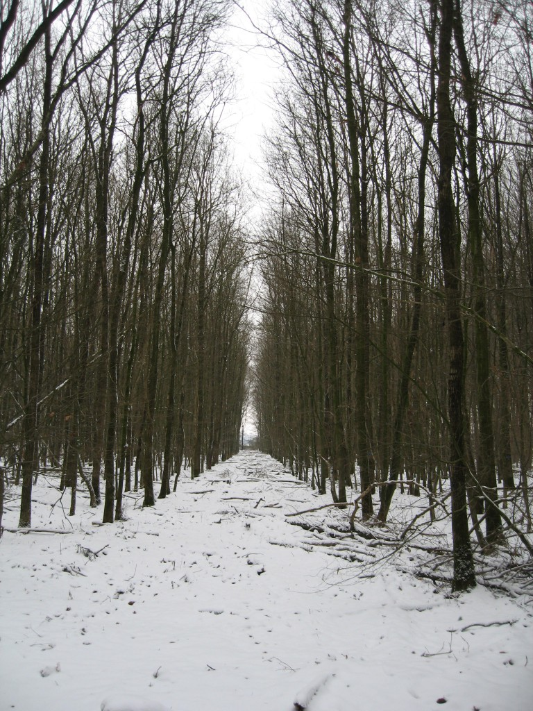 Bleak winter woods
