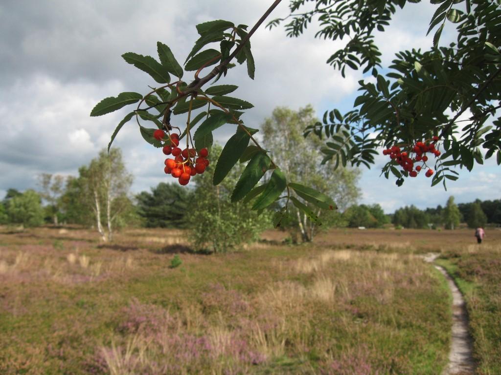 Lüneburger Heide rowan tree