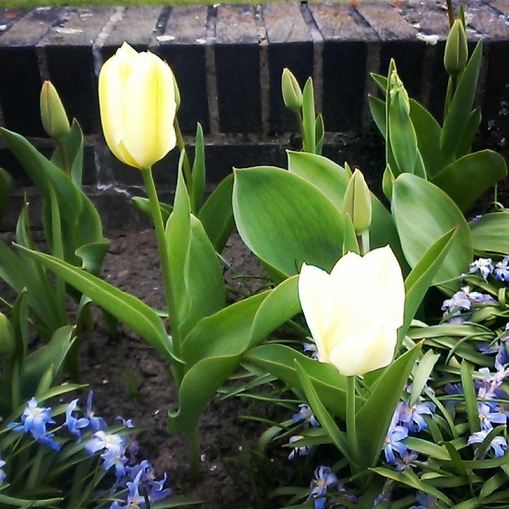 Tulips and blue flowers
