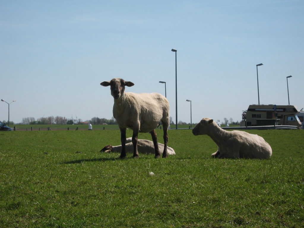 East Frisia sheep